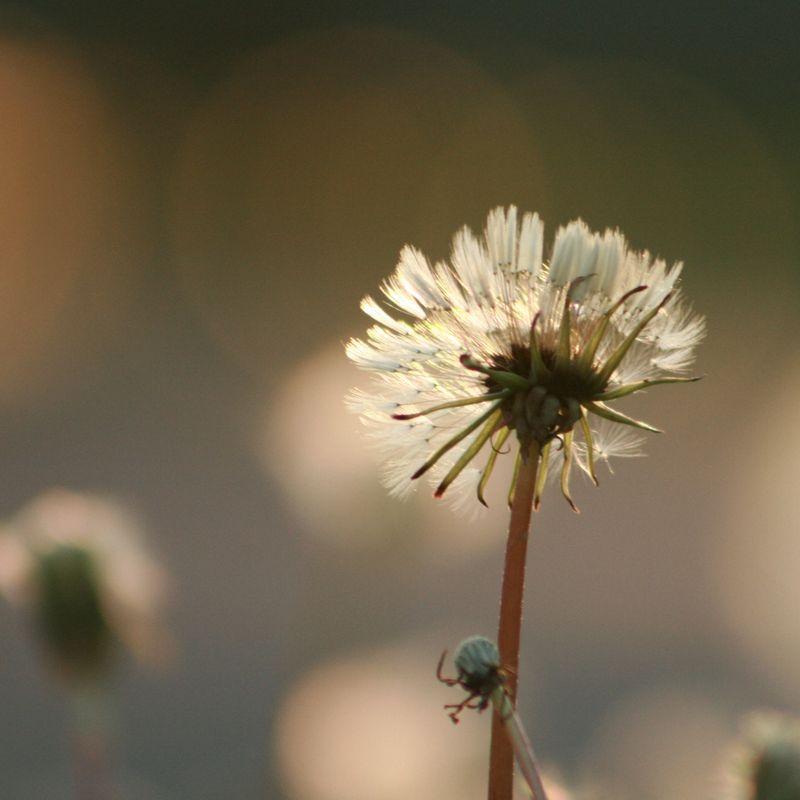 Dandelion squared